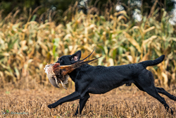black labrador gun dog from side on running with cock pheasant in mouth
