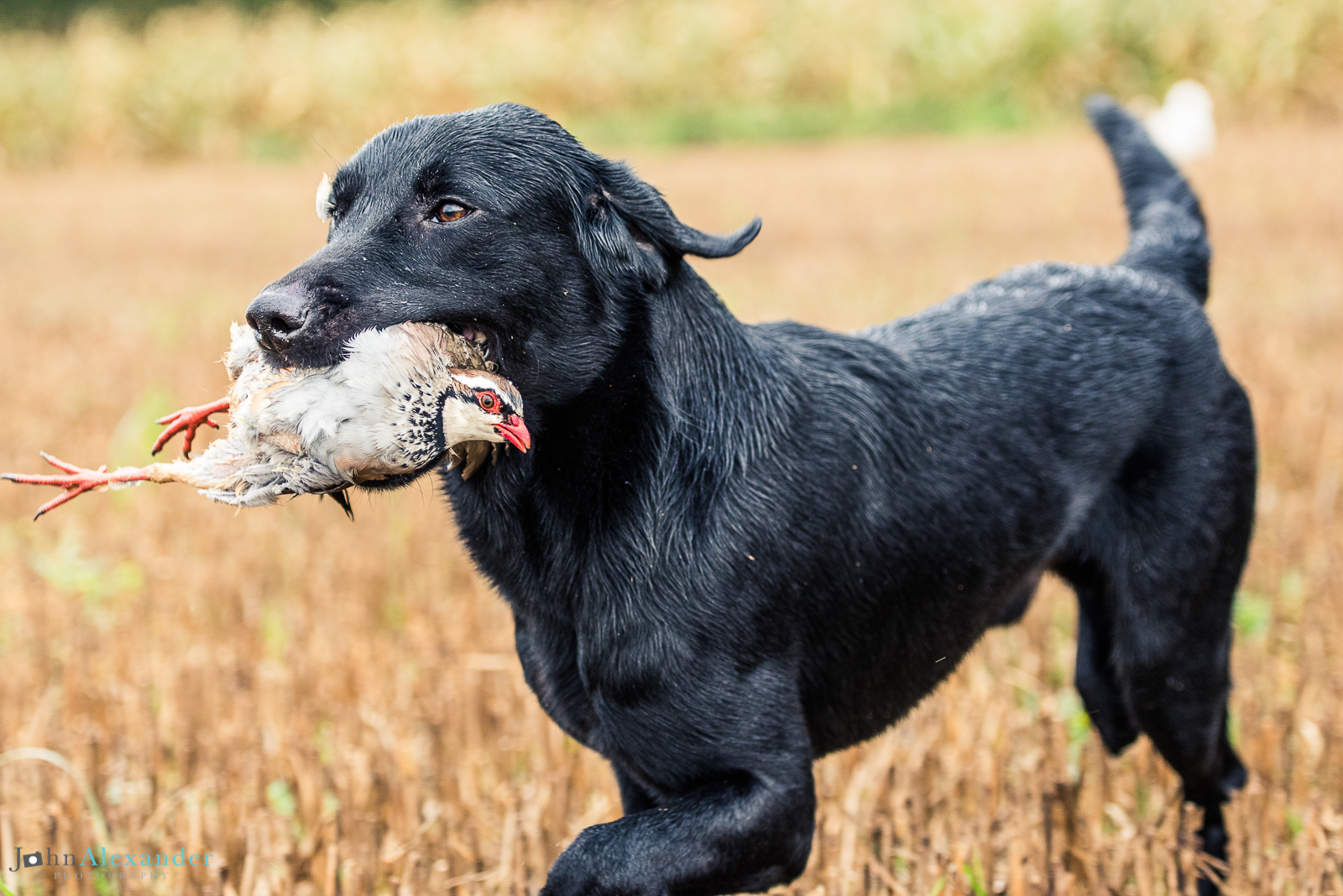 black lab gun dog with partridge in its mouth on shoot in uk