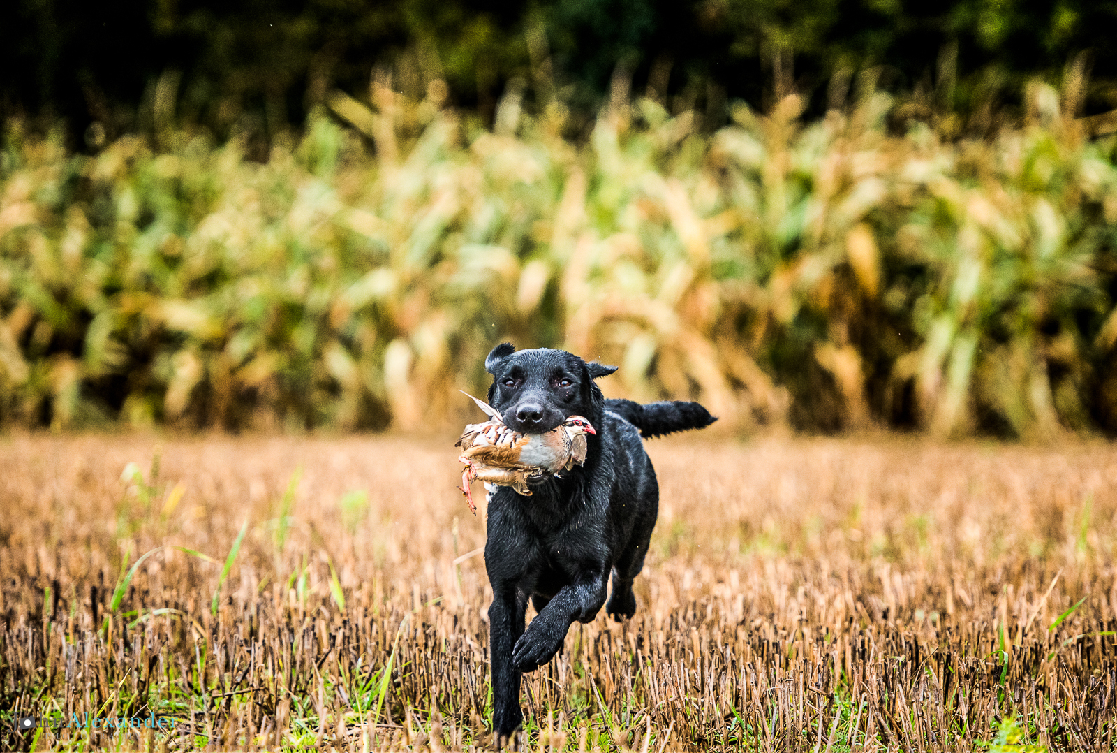 black labrador picking up partridges