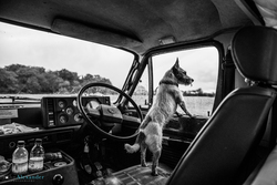 Jack Russell dog leaning out of the front window of a Land Rover on a driven pheasant shoot in the UK