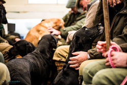 Gun dogs in the gun trailer on the way to the next drive on a pheasant shoot in the UK