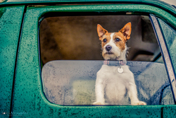 Jack Russell dog poking his head out of the front window of a green Land Rover