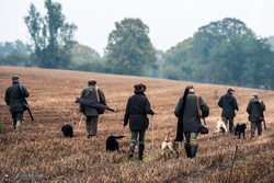 Guns walking to their pegs with their dogs on a driven pheasant shoot in the UK