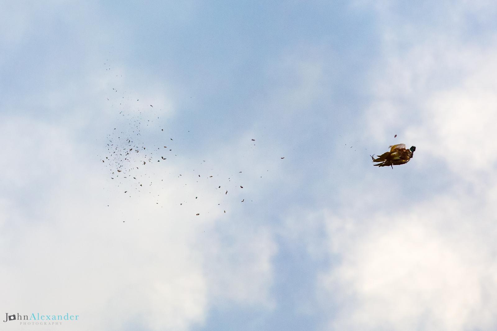 shot pheasant in the air