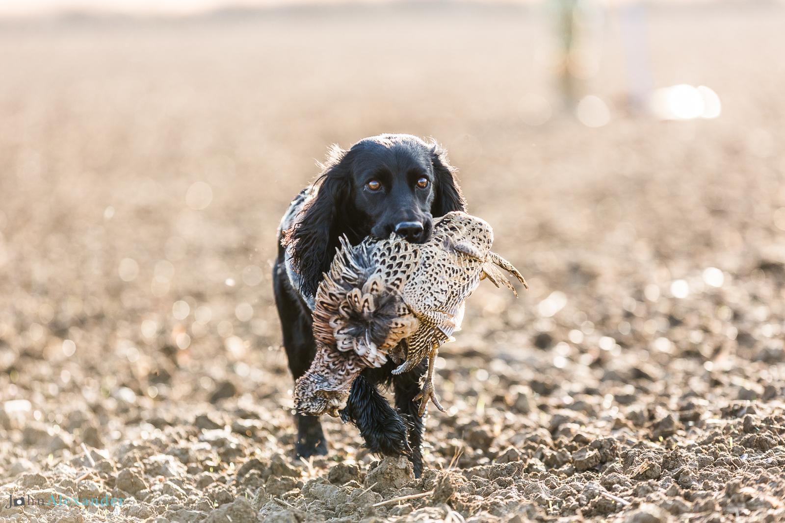 cocker spaniel retrieving pheasant