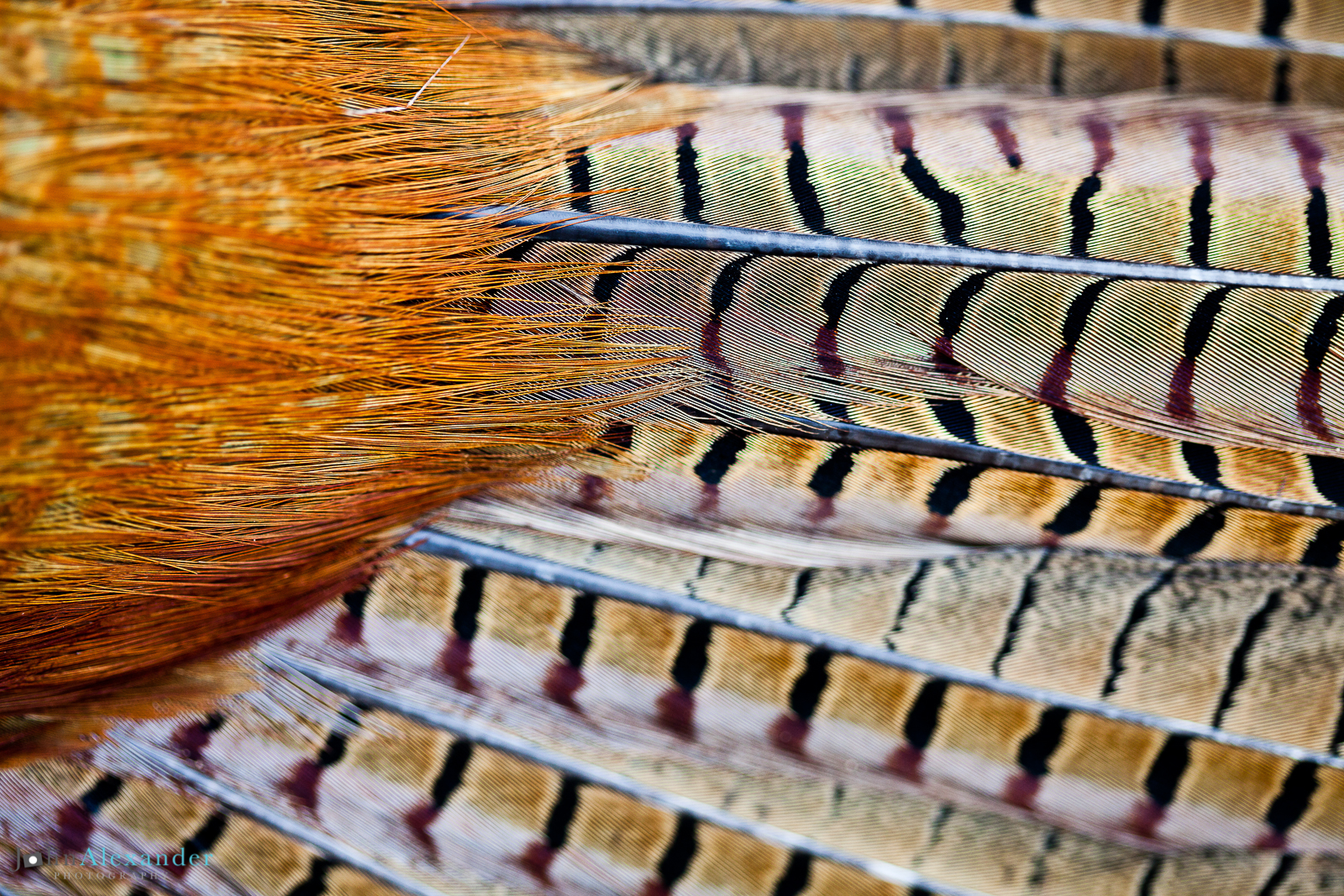 pheasant feathers close up