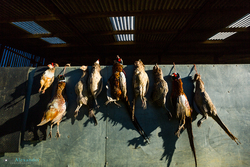 Shot pheasants hanging up in braces on the wall waiting to be counted