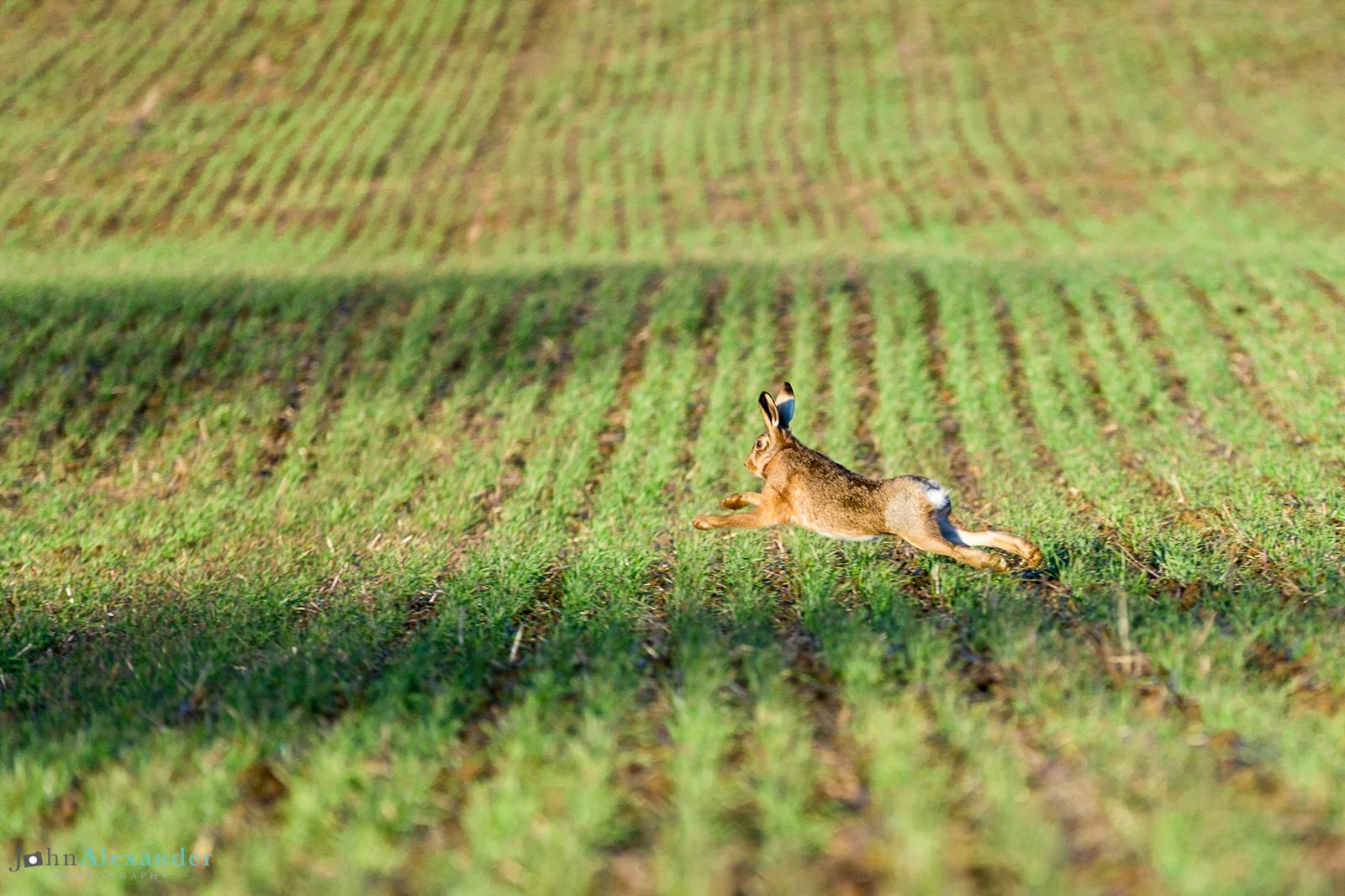 hare running through a field