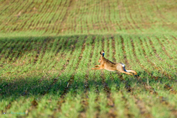 hare running through a field