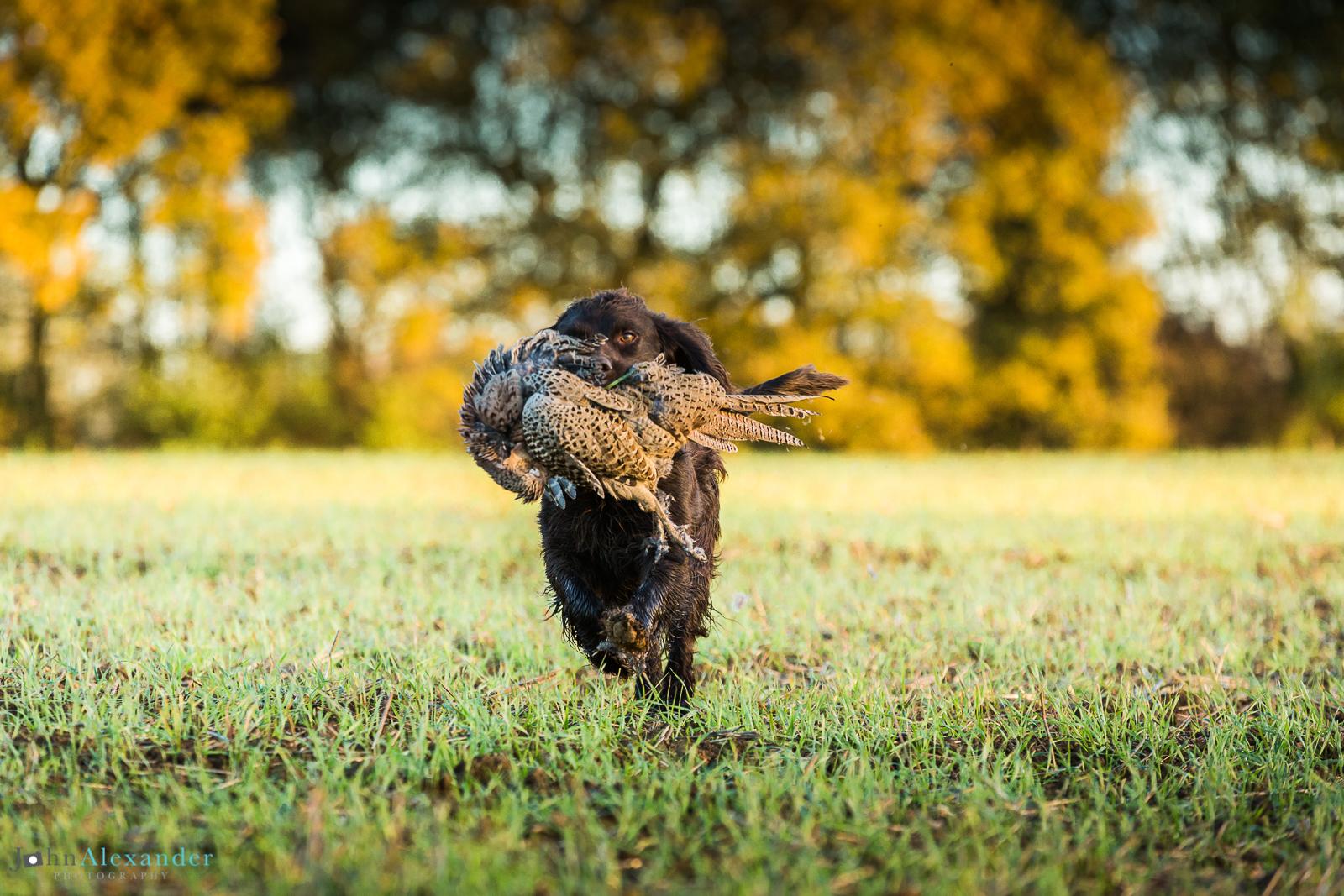 Spaniel retrieving a pheasant in autumn