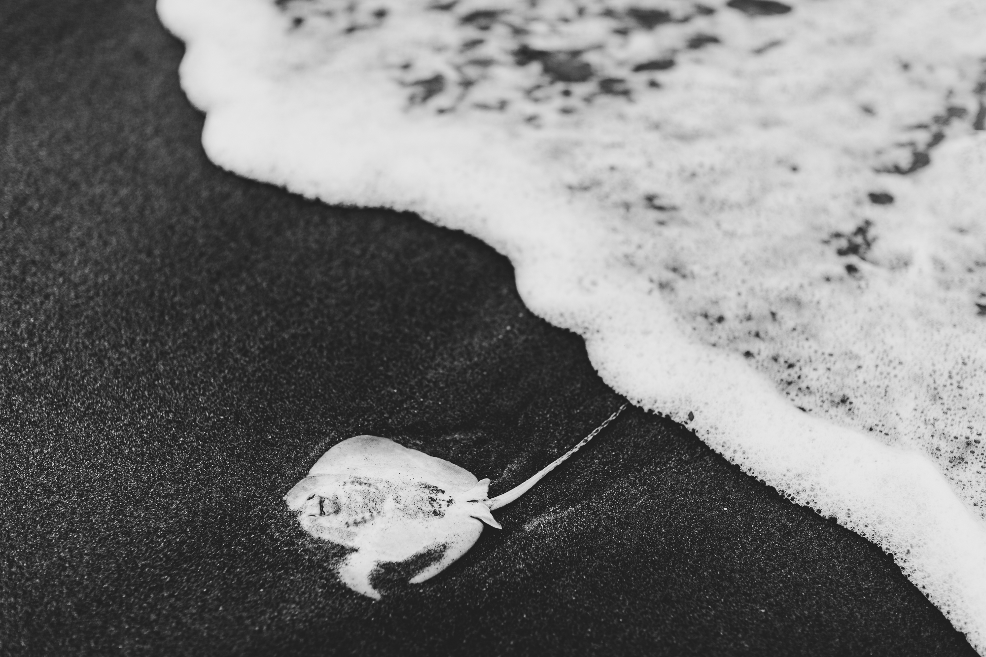 Dead Sting Ray on Beach