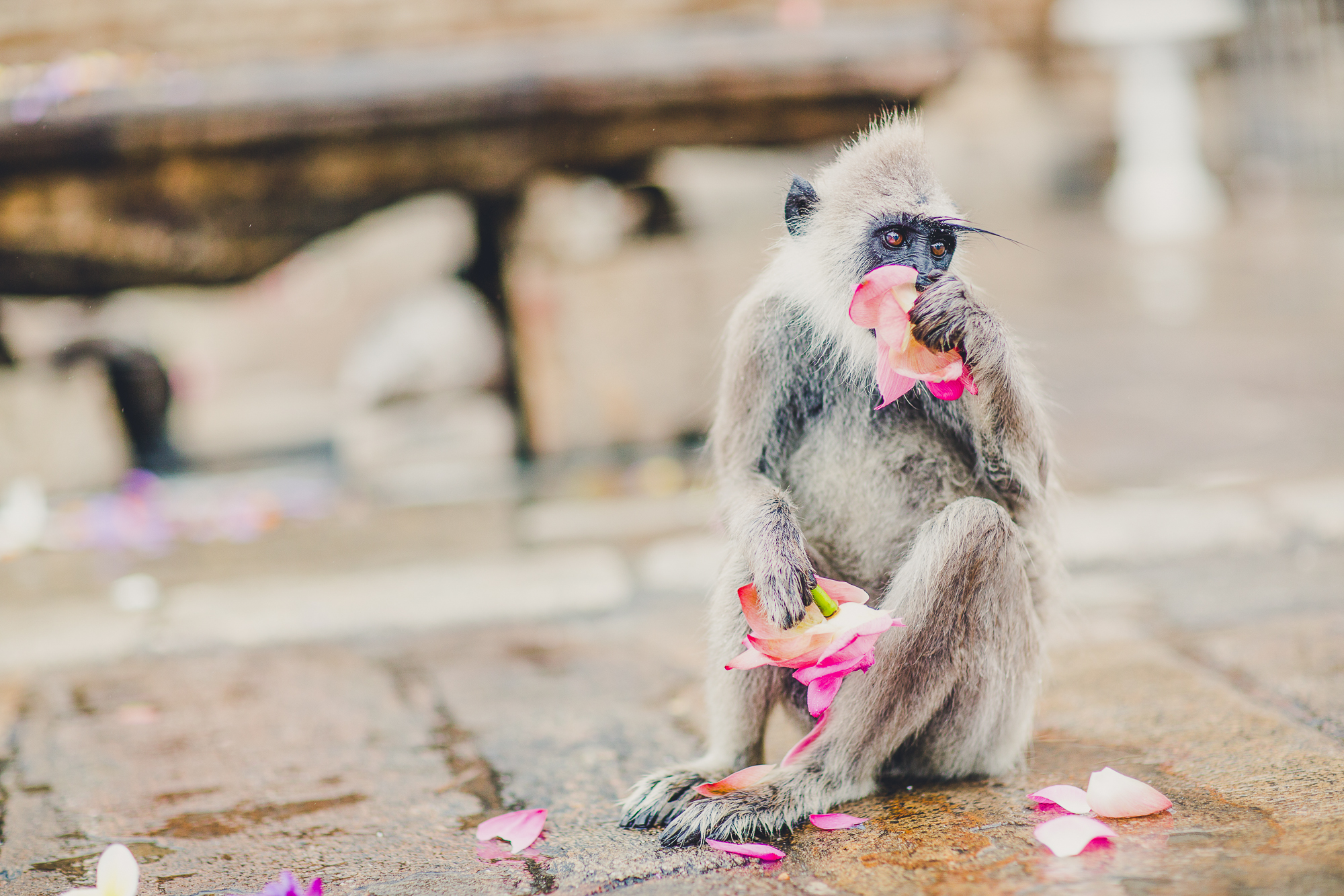 Monkey eating Petals