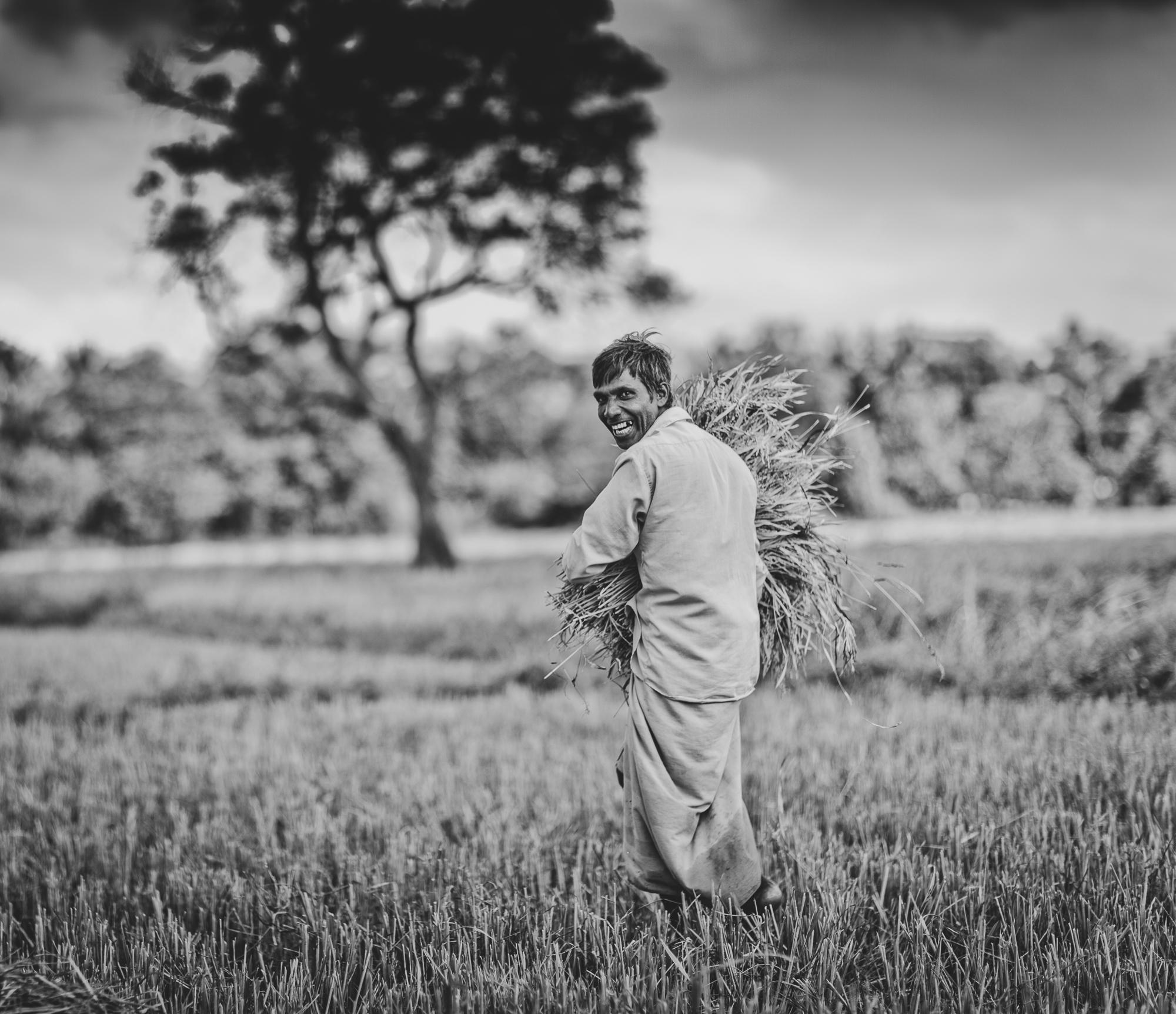 Harvesting a crop in Sri Lanka