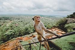 Monkey sitting on a railing above the tea plantations
