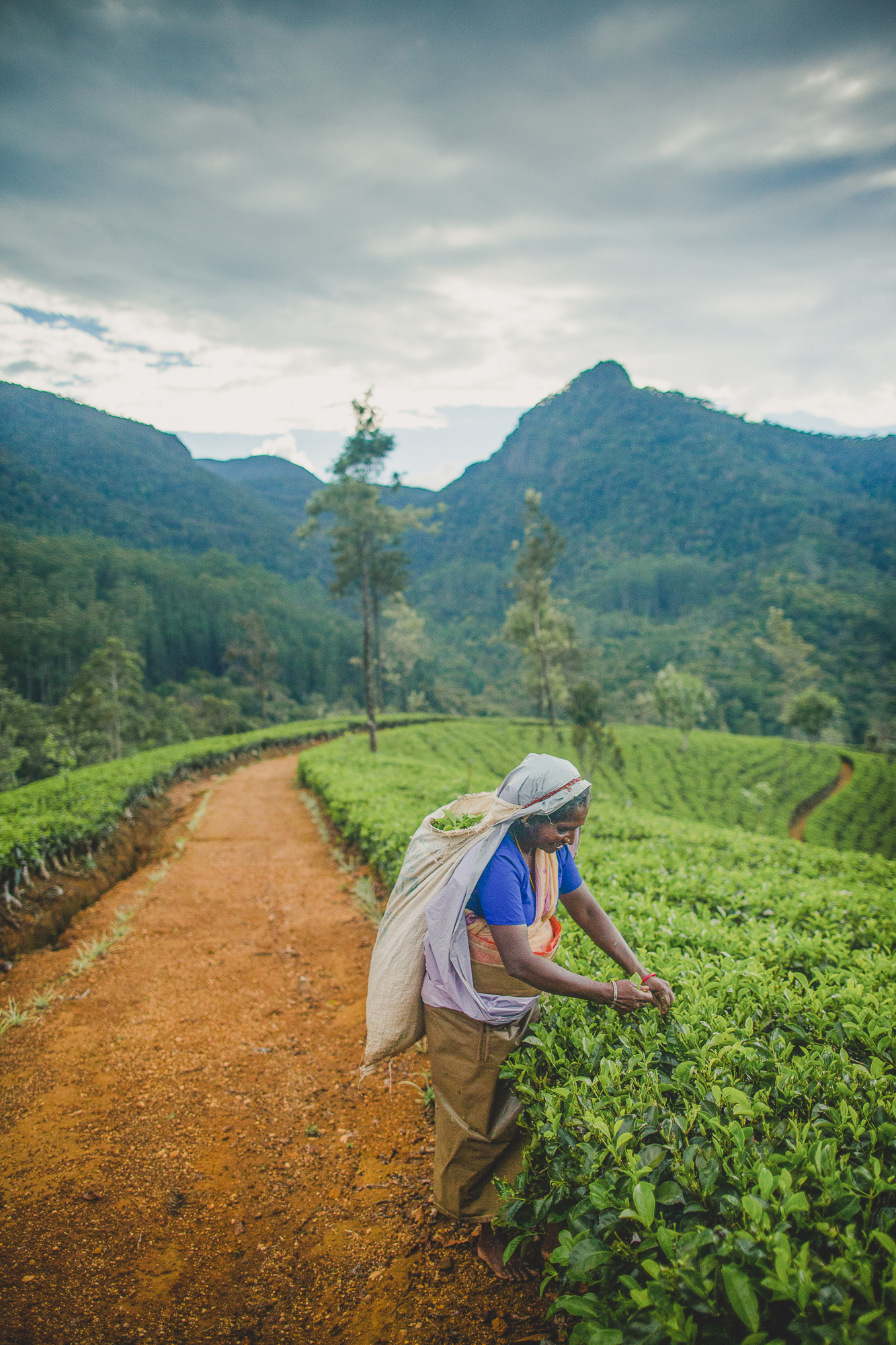 Picking Tea in Sri Lanka