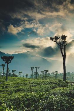 A Landscape of tea plantations