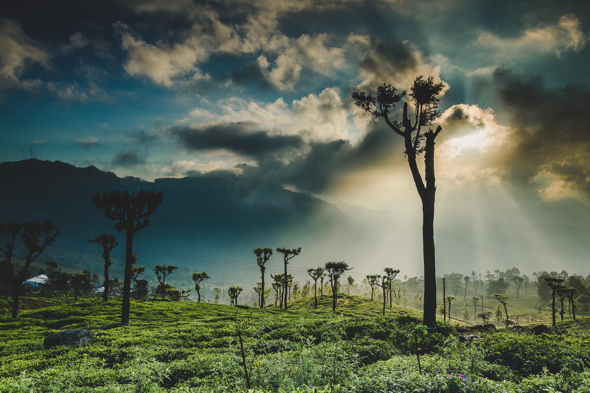 Tea Plantation of Sri Lanka
