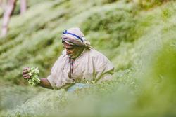 Tea pickers in Sri Lanka