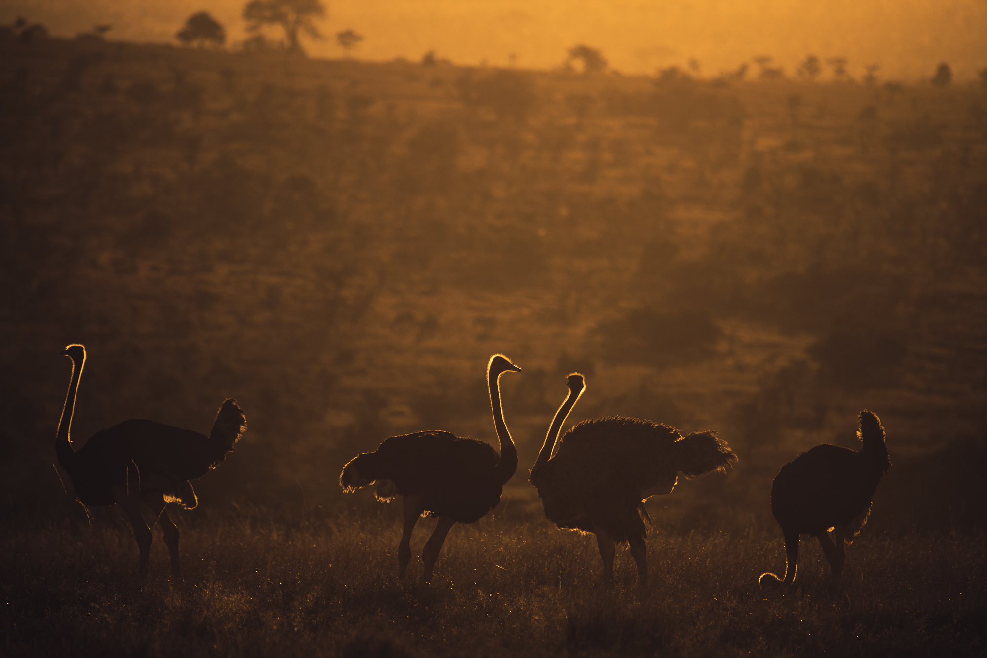 Ostriches of Sunset