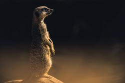 A meerkat sitting on a rock watching for predators
