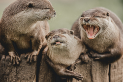Three otters sitting together