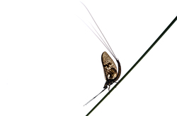 Mayfly sitting on a stick
