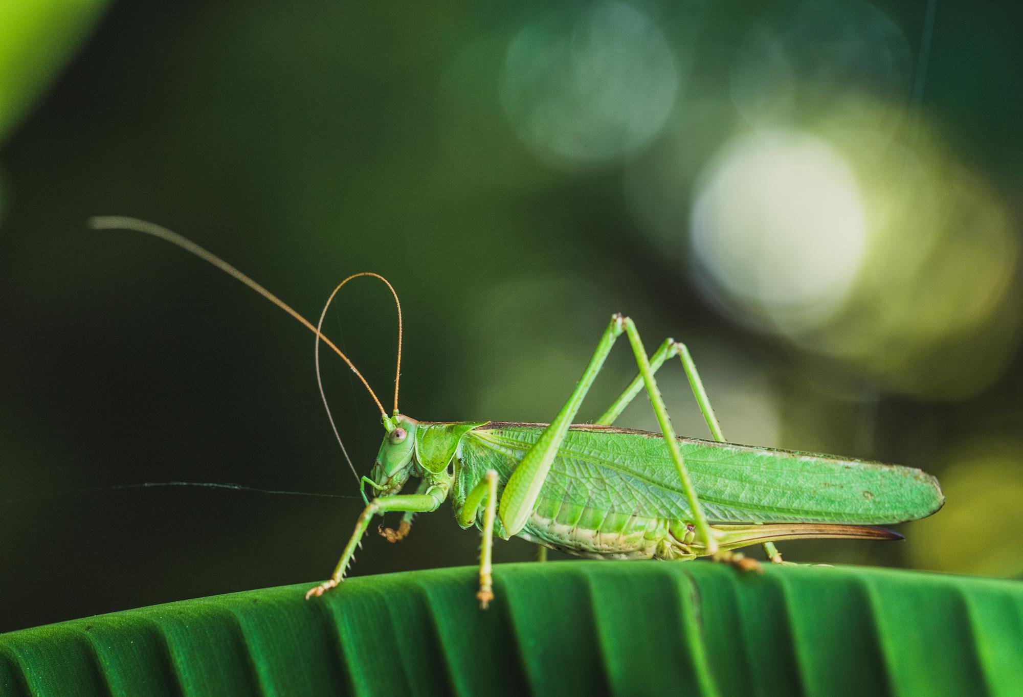 Cricket sitting on a leaf