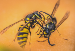 Wasps fighting on the table