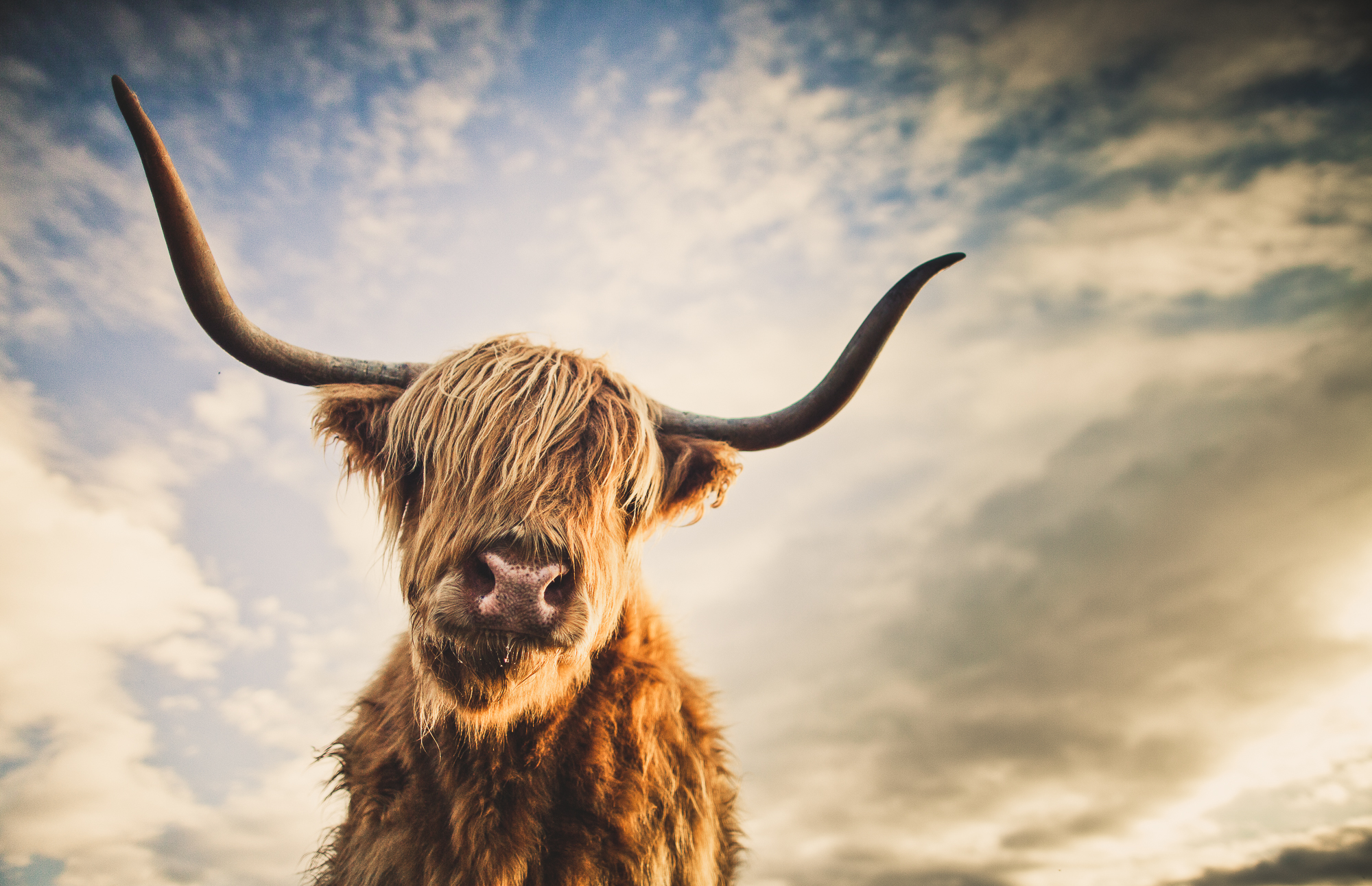 Portrait of a highland cattle