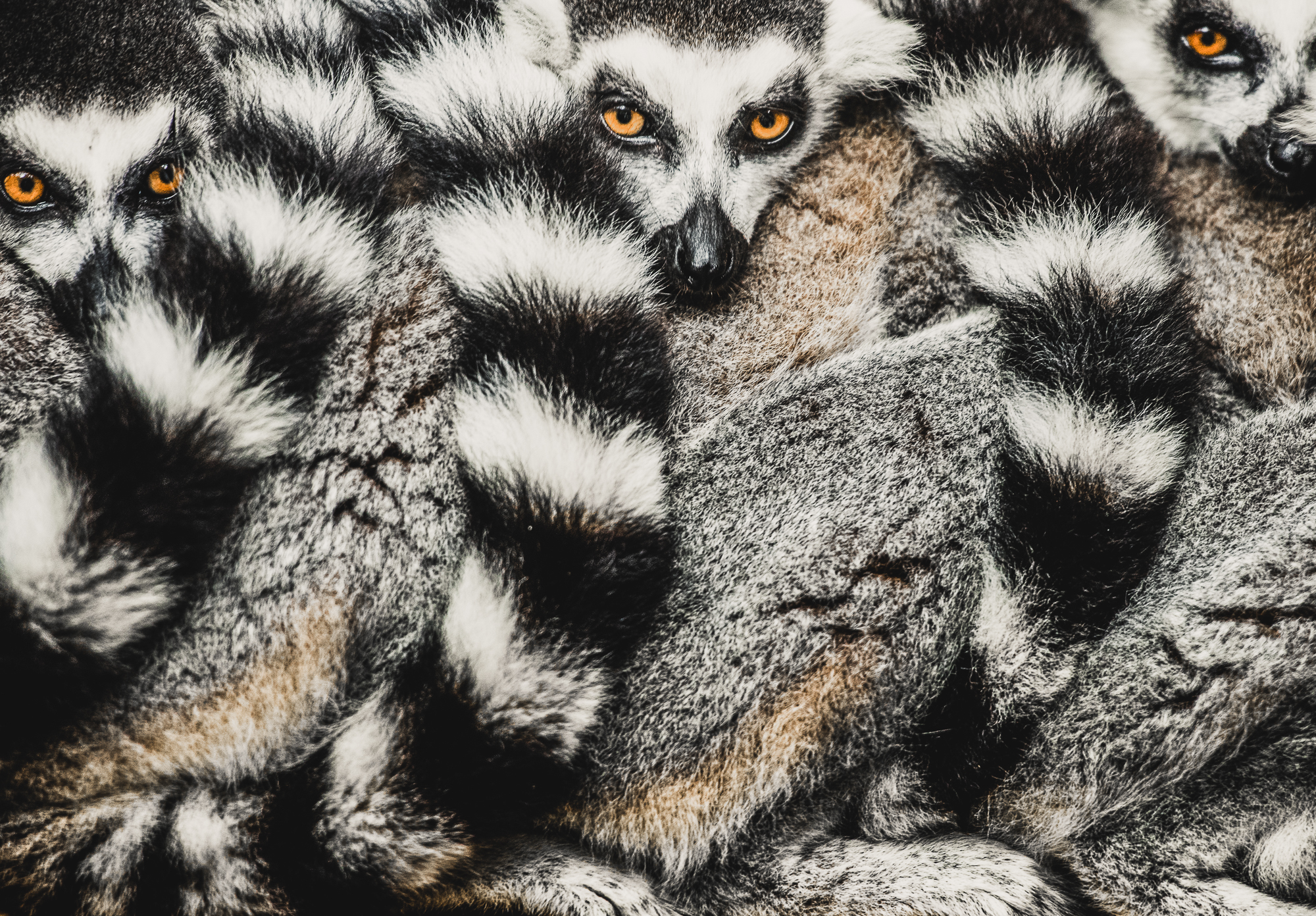 A group ring tailed lemurs sitting together