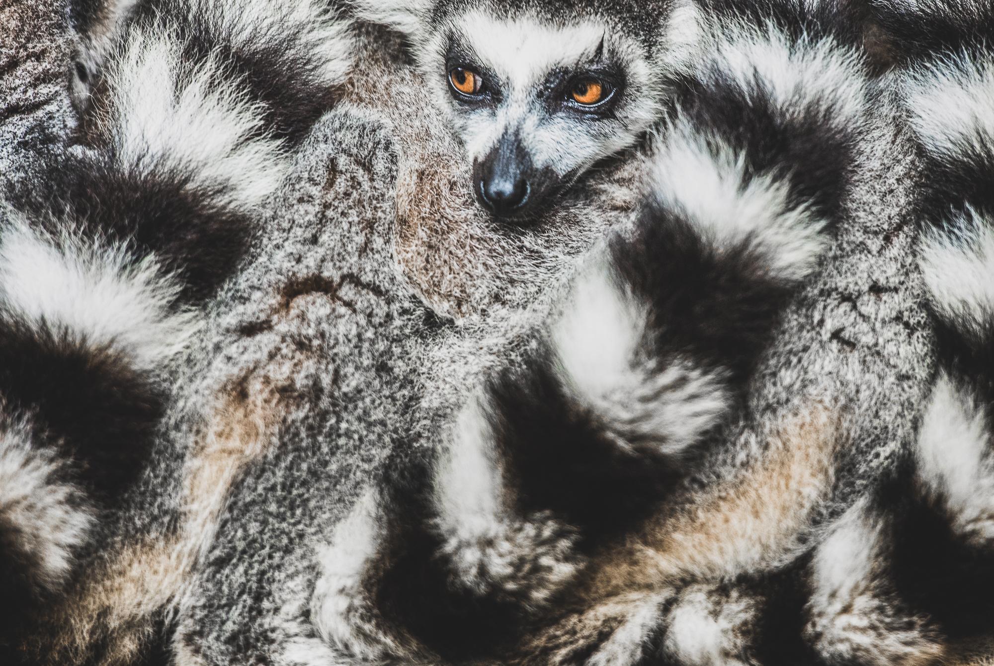 Lemurs Wrapped together
